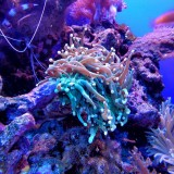 Australia, Mar dei Coralli, anemone