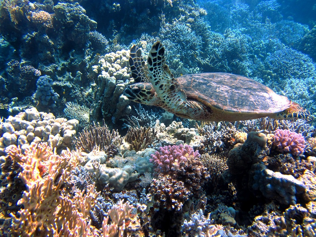 Australia, Mar dei Coralli, tartaruga