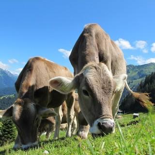 Austria, mucche al pascolo