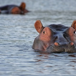 Botswana, ippopotami