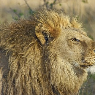 Botswana, leone