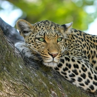 Botswana, leopardo