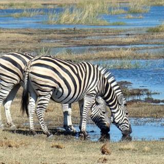 Botswana, zebre
