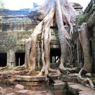 Cambogia, Angkor Wat, albero