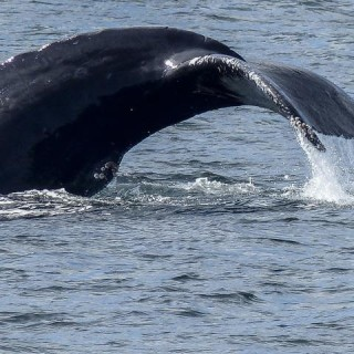Canada, balena