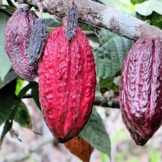 Ecuador, baccelli di cacao