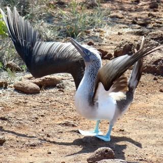 Ecuador, uccello
