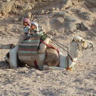 Egitto, cammello