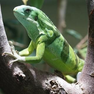 Fiji, iguana