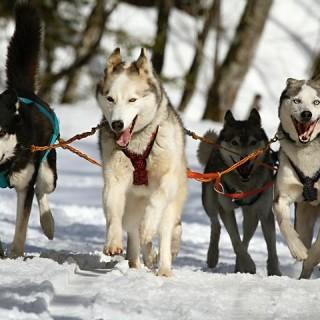 Finlandia, cani da slitta