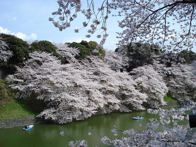 Giappone, ciliegi