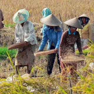 Bali, contadini