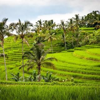 Bali, risaie