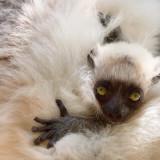 Madagascar, lemure