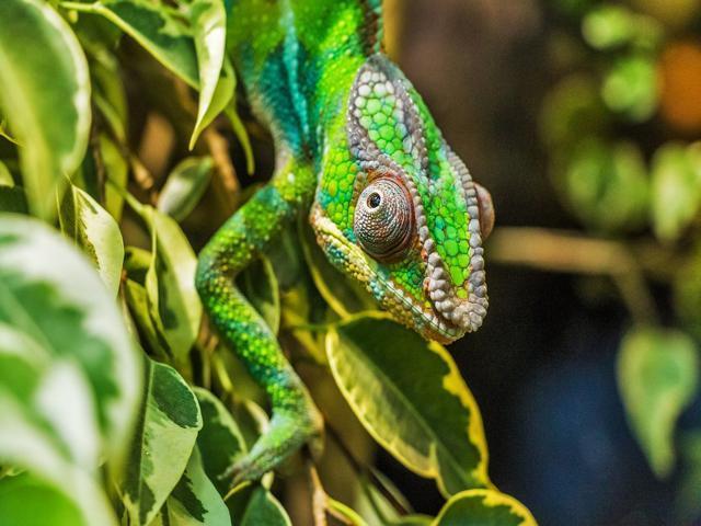 Madagascar, camaleonte