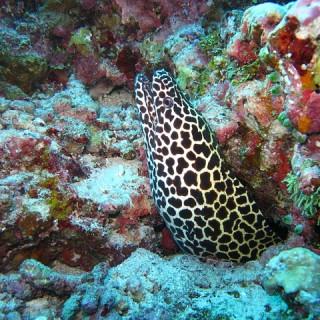 Maldive, murena