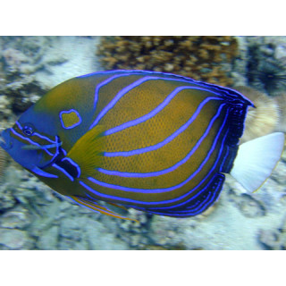 Maldive, pesce angelo