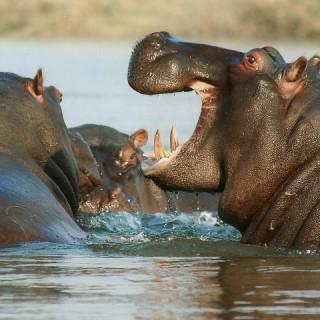 Namibia, ippopotami