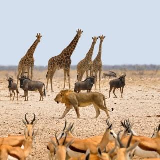 Namibia, safari