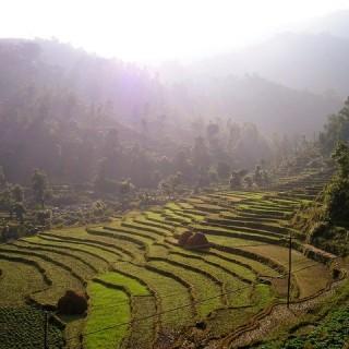 Nepal, risaie