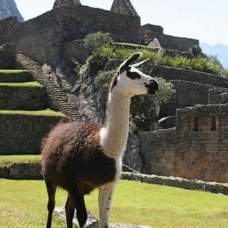 Perù, lama