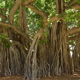 Hawaii, albero Banyan