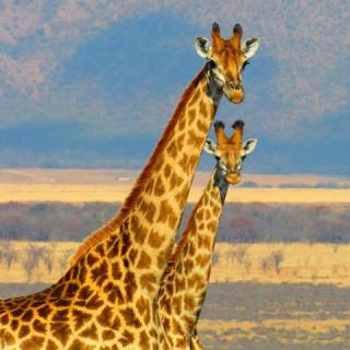 Sudafrica, giraffe