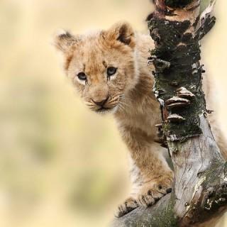 Tanzania, cucciolo leone
