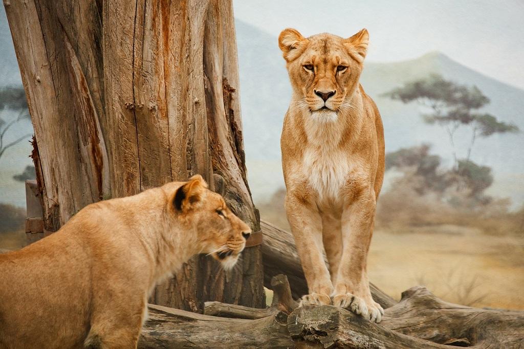 Tanzania, leoni, safari