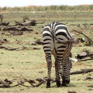 Tanzania, zebra